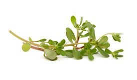 A purslane leaf Stock Photo