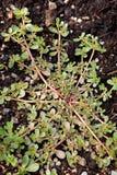 Purslane Lettuce. A purslane lettuce plant growing in a star like pattern in a garden stock images