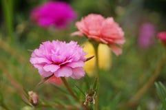 Purslane- och blomblomma Arkivbilder