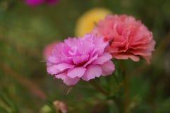 Purslane- och blomblomma Royaltyfria Bilder
