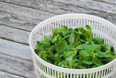 Purslane organico in cestino Fotografia Stock