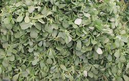 Purslane plant Royalty Free Stock Photography