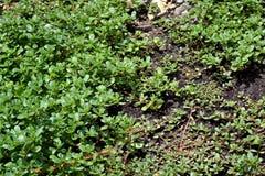 Purslane. Plants portulaca oleracea ready for harvest Stock Photos