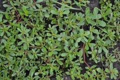 Free Purslane. Portulaca Oleracea. Field. Growing. Agriculture. Weeds Royalty Free Stock Photos - 146494878