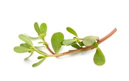 Purslane (Portulaca oleracea) Royalty Free Stock Photography