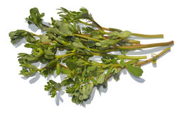 Purslane Royalty Free Stock Photos
