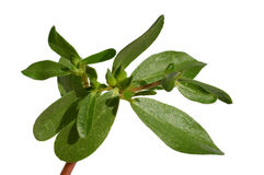 Purslane Stock Image