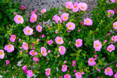 Purslane or Pussley or Rose mose or Sun plant Royalty Free Stock Image
