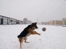In pursuit of the ball. Royalty Free Stock Photography