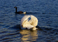The pursuit of the goose by the angry swan Stock Photography