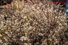 Purulento-salice della primavera Immagine Stock