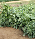 Pusa Aditya Mustard. Pusa Aditya, Brassica carinata, a variety of mustard, developed for NCR, suitable for rainfed regions with poor land, immune to mildew stock images