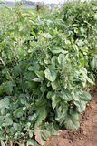 Pusa Aditya Mustard. Pusa Aditya, Brassica carinata, a variety of mustard, developed for NCR, suitable for rainfed regions with poor land, immune to mildew royalty free stock images