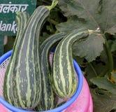 Pusa Alankar Summer squash Stock Photo