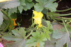 Pusa Alankar Summer squash Royalty Free Stock Images