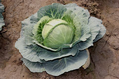 Pusa cabbage Hybrid 1. Brassica oleracea var capitata, hybrid line with small head size, compact head , suitable for North India stock photo