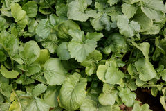 Pusa Chandrima Turnip. Turnip, Pusa Chandrima turnip, Brassica rapa, An early maturing variety shown in plains of India from October to December, globular to royalty free stock image