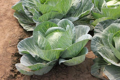 Pusa Drum Head cabbage. Brassica oleracea var. capitata, larger plants light green outer leaves w ith prominent midribs and venation, Heads large, solid and royalty free stock photography