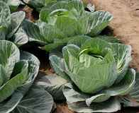 Pusa Drum Head cabbage. Brassica oleracea var. capitata, larger plants light green outer leaves w ith prominent midribs and venation, Heads large, solid and royalty free stock photo