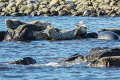 Pusa is a genus of earless seals. Royalty Free Stock Photography