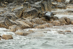 Pusa is a genus of earless seals. Royalty Free Stock Images