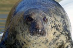 Nerpa - close-up. Pusa is a genus of the earless seals. The three species of this genus were split from the genus Phoca, and some sources still give Phoca as an Royalty Free Stock Photos