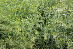 Pusa Karishma mustard. Pusa Karishma, Brassica juncea, a variety of mustard developed by IARI with large plants producing yellow coloured seeds with low erucic stock photo