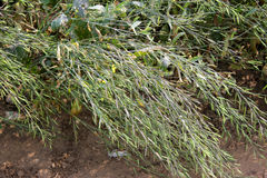 Pusa Mahak Mustard. Pusa Mahak, Brassica juncea, a variety of mustard suitable replacement for Toria both early September and Late November sowing, good yield stock images