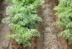 Pusa Payasa Carrot Royalty Free Stock Image