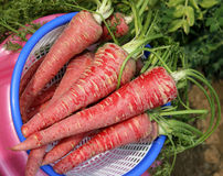 Pusa Rudhira Carrot Royalty Free Stock Images