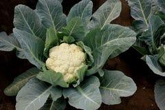 Pusa snowball K-1 Cauliflower. Pusa snowball K-1, Brassica oleracea var botrytis, developed in 2004, mass selection from EC 12012, light green serrated leaves stock photos