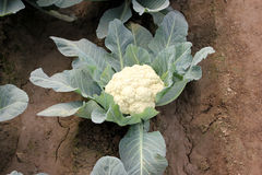 Pusa snowball K-1 Cauliflower Royalty Free Stock Image