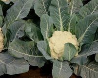 Pusa snowball K-25 cauliflower Stock Images