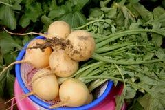 Pusa Swarnima Turnip Royalty Free Stock Photo