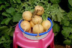 Pusa Swarnima Turnip Royalty Free Stock Image