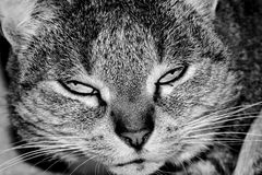 Puschel. My name is Puschel - i am tired - black and white Stock Photography