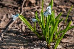 Puschkinia-Blumen am sonnigen Tag im Garten am Vorfrühling lizenzfreie stockbilder