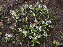 Puschkinia hyacinthoides Stock Images