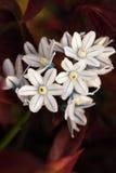 Puschkinia libanotica Arkivfoton