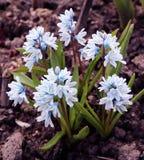 Puschkinia scilloides或镶边海葱在绽放开花 库存照片