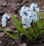 Puschkinia scilloides或镶边海葱在绽放开花 免版税库存图片