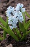 Puschkinia scilloides或镶边海葱在绽放开花 免版税库存照片
