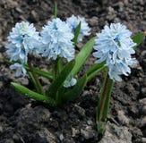 Puschkinia scilloides ή ριγωτά squill λουλούδια στην άνθιση Στοκ Εικόνες
