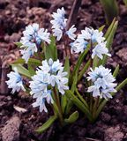 Puschkinia scilloides or striped squill flowers in bloom. Early in spring Stock Photos