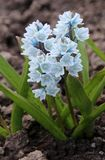 Puschkinia scilloides or striped squill flowers in bloom. Early in spring Royalty Free Stock Photo