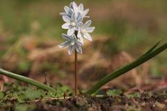Puschkinias a barré la scille en pleine floraison en mars Photographie stock