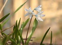 Puschkinias a barré la scille en pleine floraison en mars Image libre de droits