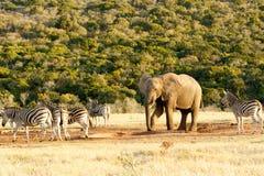 Puse mi pie abajo del elefante africano de Bush Imagenes de archivo