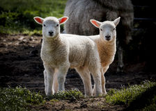 Push me pull you, pair of lambs in spring Stock Photo