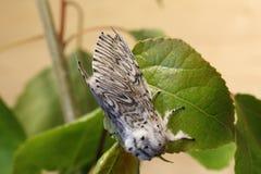 Push Moth Royalty Free Stock Images